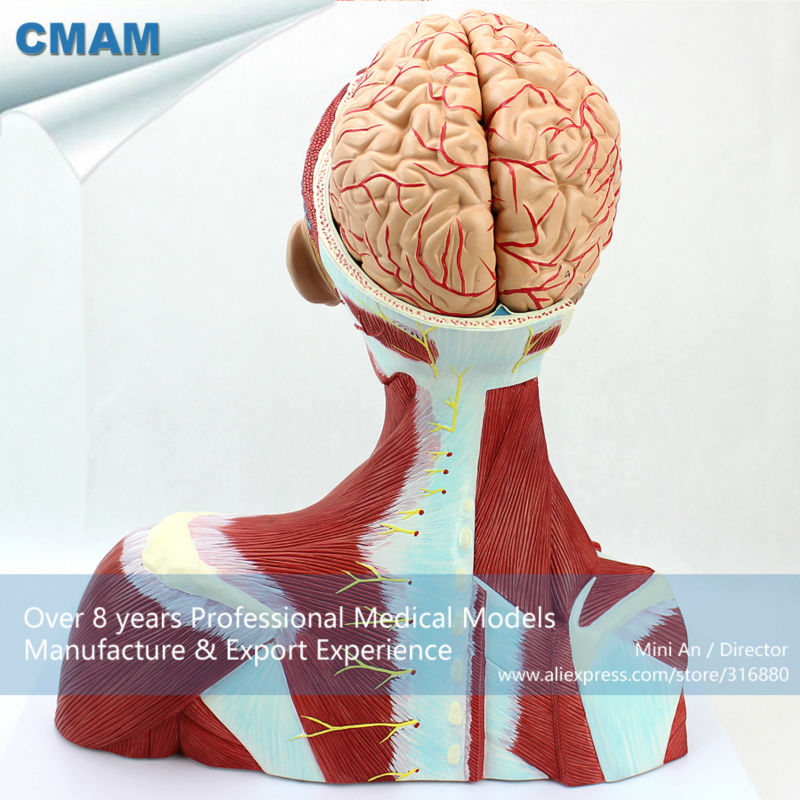 12310 CMAM MUSCLE16 Medical Education Anatomical Neck Muscle Anatomy ...