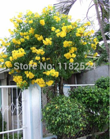 100 yellow trumpet bush tree flower seeds tecoma stans yellow 100 yellow trumpet bush tree flower seeds tecoma stans yellow elder bells mightylinksfo
