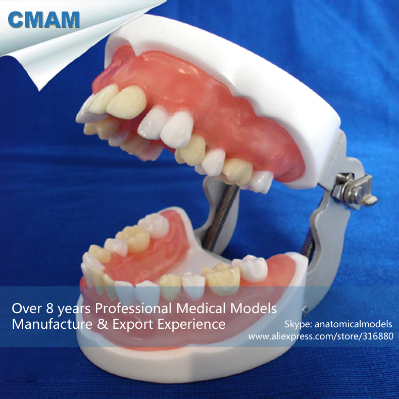 12606 CMAM-DENTAL24 Oral Practice Model of Dental Extraction,  Medical Science Educational Teaching Anatomical Models cmam dental07 human dental demonstration model of periodontal caries medical science educational teaching anatomical models