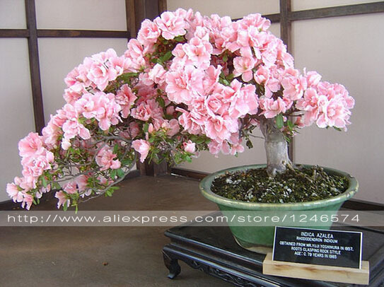 10PCS rare sakura seeds bonsai flower Cherry Blossoms Tree cherry blossom seeds Bonsai plants for home & garden