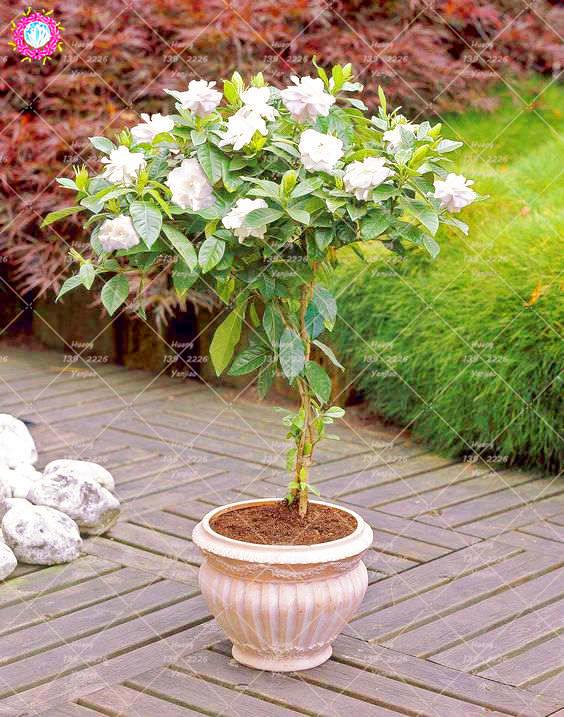 2pcs / Bag Gardenia Bonsai Flower Bulbous Plants Jasminoides Aromatic  Exotic Bonsai Plants Family Garden