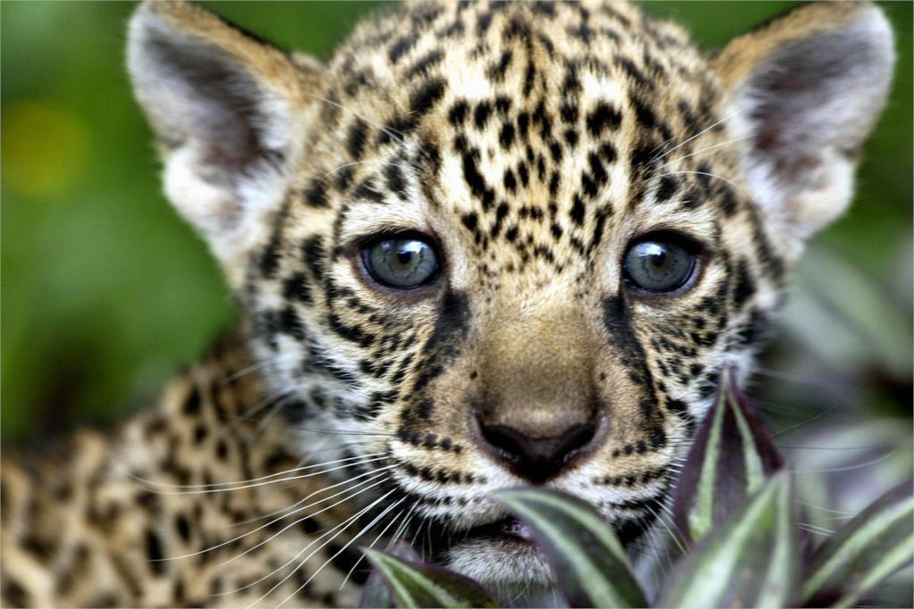 DIY marco encantador guepardos bebé leopardo animal carteles y ...