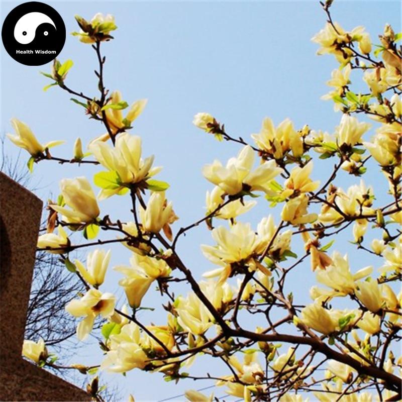 Buy Real Michelia Champaca Tree Semente 240pcs Plant Yellow Magnolia