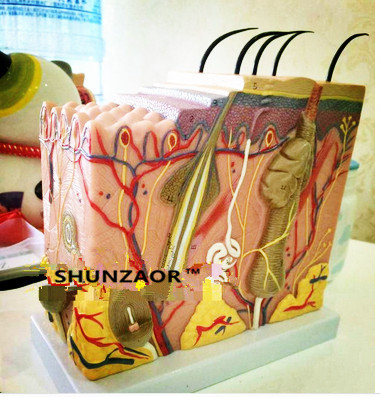 SHUNZAOR Human skin structure enlarged model skin layer structure model skin model skin human skin tissue structure enlarged model of hair follicle human anatomy model vertical skin anatomical model gasen rzpf008