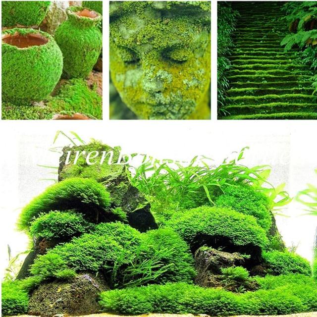 200 Pcs Moss bonsai,Sagina Subulata plant,Lovely Moss Ball Decorative Garden Creative Grass bonsai Potted Plant DIY Home Garden