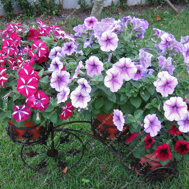 ZLKING 100pcs Garden Petunia Flower Bonsai Plants For Home Garden Exotic Plant Species Super Natural Products 3