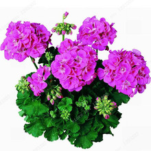 Purple Univalve Geranium Seeds Potted Flower Pelargonium for Indoor Rooms Seed 20 Particles / lot