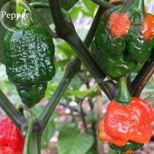 Trinidad Moruga Scorpion Red Green Chili Pepper Vegetables, 10 seeds, the world's 2nd hottest chilli pepper E3881