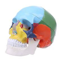 Цветной череп в натуральную величину, модель анатомической анатомии, медицинский, для обучения, скелет, голова, медицинский, для изучения, учебные принадлежности