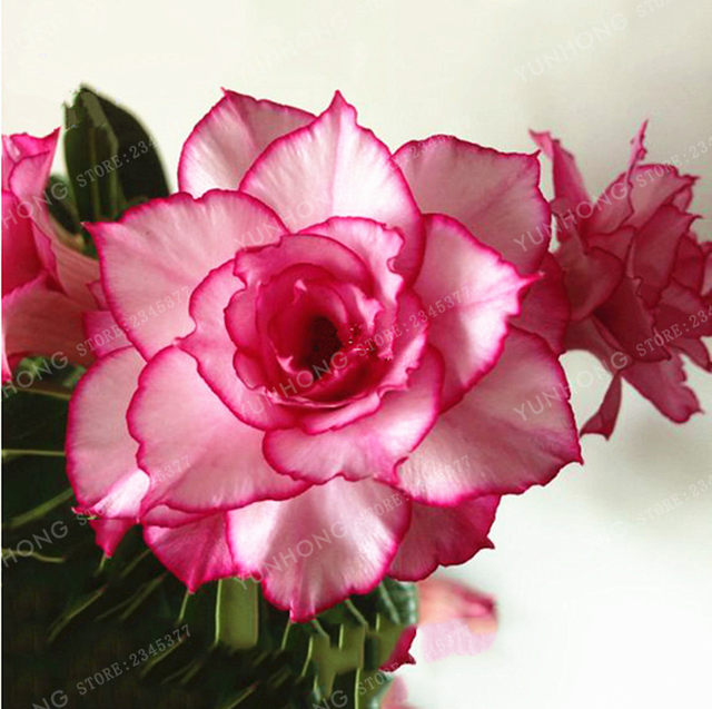 Online shop 1 pcs whitish light pink flowers with rose red edge 1 pcs whitish light pink flowers with rose red edge bonsai 10 layer compact desert rose flowers potted plant mightylinksfo