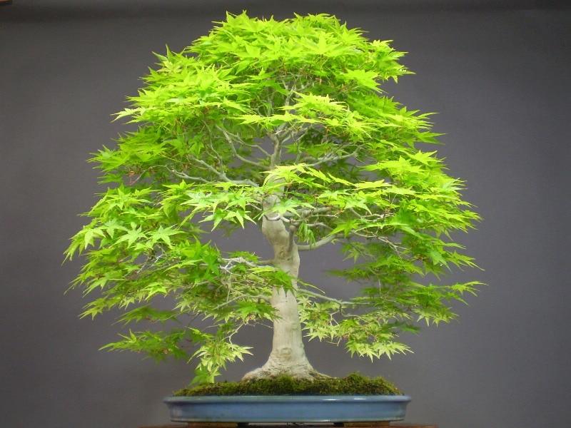 Achetez en gros japonais mini arbres en ligne des for Bonsai prezzi