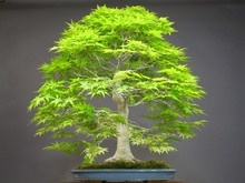 50 japanese bonsai maple tree  Seeds mini bonsai tree for indoor plant can put on office desk free shipping