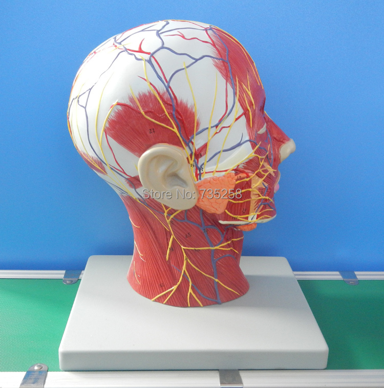 Head And Neck Superficial Nerve Vascular Muscle Model ,Head And Neck ...