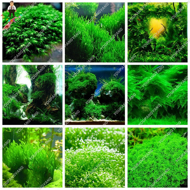 Water Gr Aquatic Plant Plants Aquarium Indoor Ornamental For Home