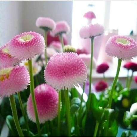 Strawberry Ice Cream Little Daisy Seeds, 100pcs/pack