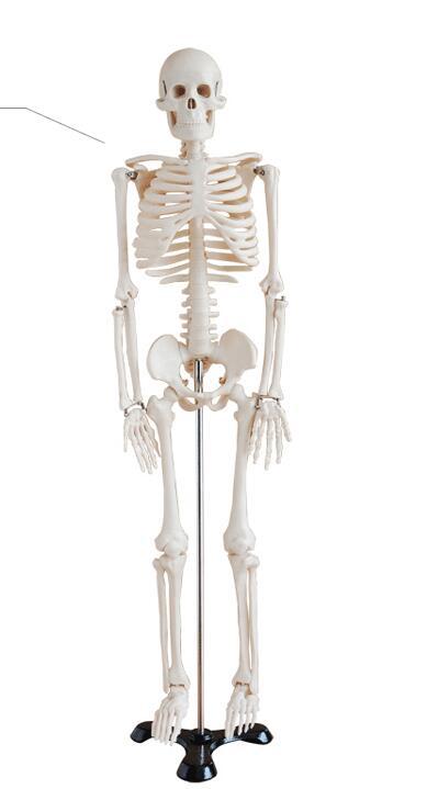 Human skeleton model Skeleton Human skeleton Bone specimens Teaching model 85 cm Skeleton model-GASENHN-003 skeleton key