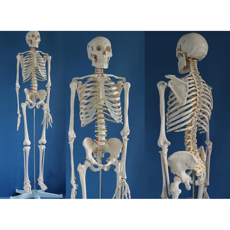 Life Size Medical Anatomical Human Skeleton Model with Rolling Stand 180cm/70.8 bix a1001 human skeleton model 180cm
