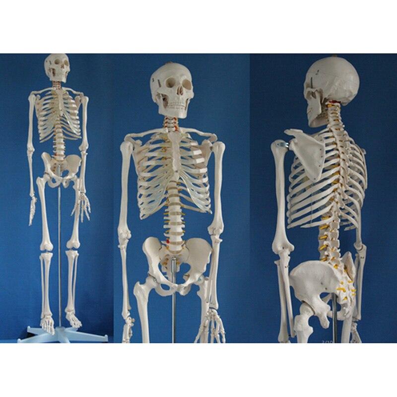 Modèle de squelette humain anatomique médical grandeur nature avec support roulant 180 cm/70.8