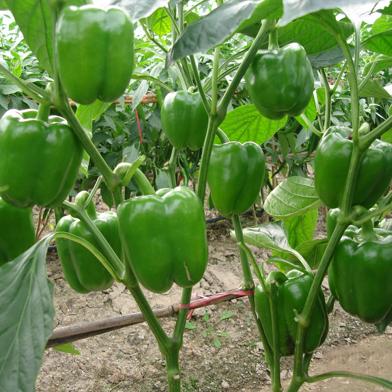 Image result for green pepper plant pictures