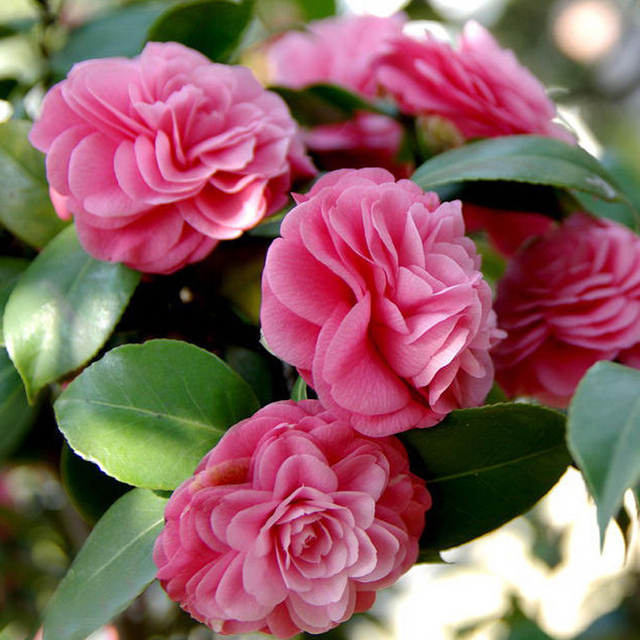 US $1 14 |Beautiful Pink camellia Seeds Potted Plants Garden Flower Seeds  Potted Bonsai Tree Common Camellia Seeds 100pcs-in Bonsai from Home &  Garden