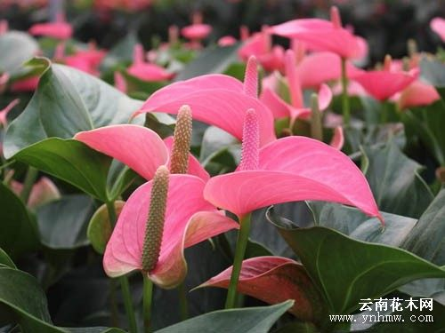 Online shop rare pink anthurium seeds indoor potted hydroponic rare pink anthurium seeds indoor potted hydroponic flowers plant seeds anthurium andraeanum 100 particles bag mightylinksfo