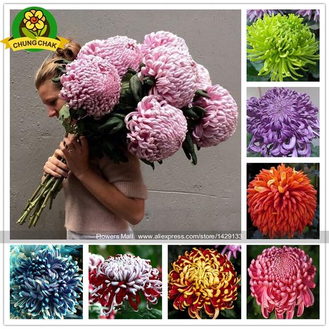 Chinese Mum Plant Chrysanthemum 200pcs Rare Perennial Flower Indoor