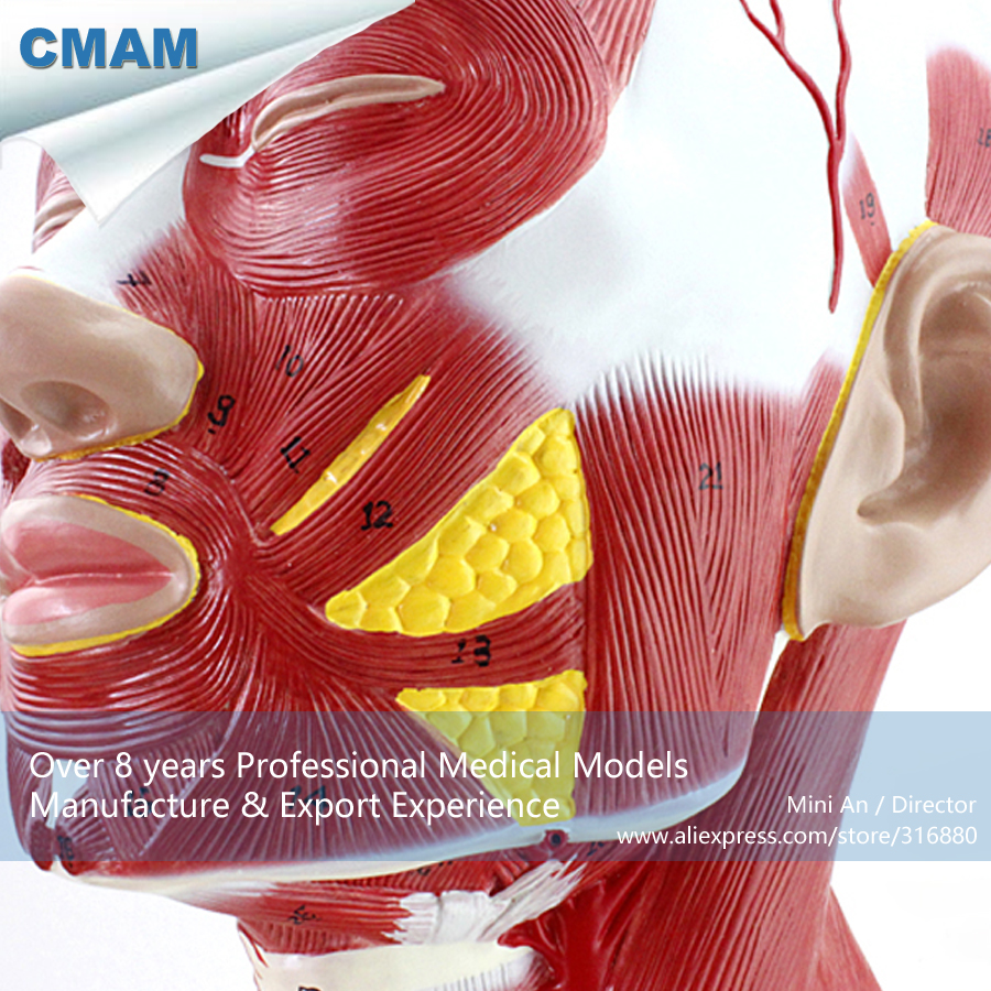 CMAM-MUSCLE06 Anatomical Model Of Thoracic And Neck Muscle , Medical Science Educational Teaching Anatomical Models озонатор бытовой days of science and technology tm017 5g h