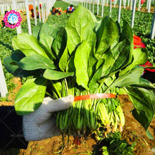 100 pcs spinach seed,Delicious salad organic food Nutrient-rich green vegetables vegetables seed for home garden planting potted