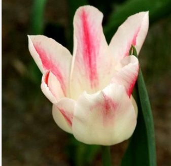 100 Pcs / Pack  Tulip Seeds,tulipa Gesneriana,potted Plants, Planting Seasons, Flowering Plants