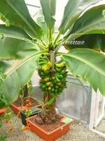 Семена карликовых плодовых бананов 200 шт. ???? Заказать