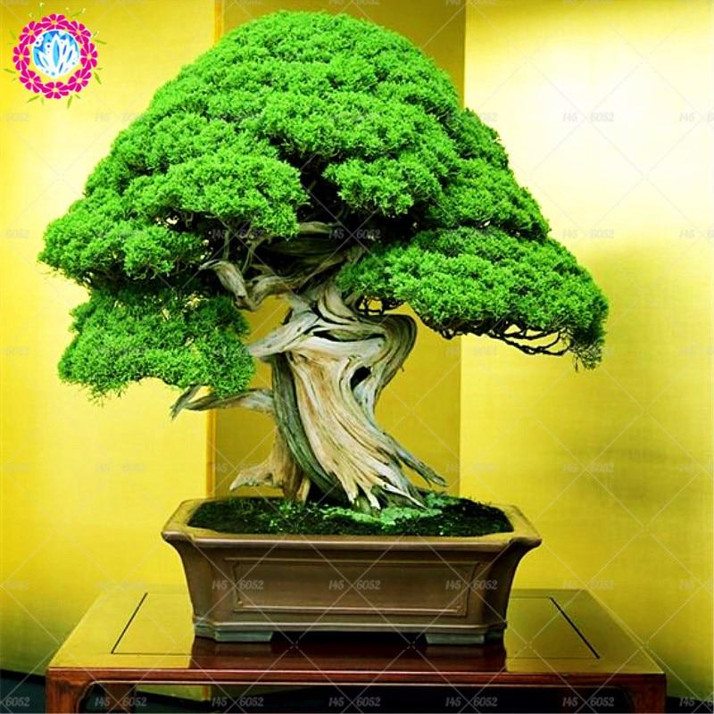 мебель цветок бонсай фото активно развивает салонный