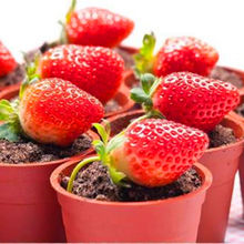 500 pcs/bag mini Strawberry Seeds potted Rare small child Fragaria ananassa L. bonsai pot fruit seeds for home garden plant