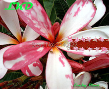 7 to15inch Rooted Plumeria Plant Thailand Rare Real Frangipani Plants no260-singapore-pink