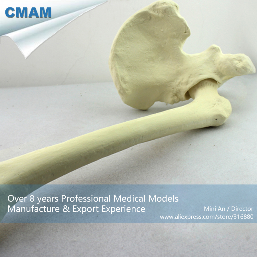 12314 CMAM-TF03 Synthetic Bones - Left Hip Joint with Femur ,SWABone Models  / Skeleton of Lower Limb halloween decor fake human bones lifelike plastic skeleton haunted house decorations props loose bones 28 pieces