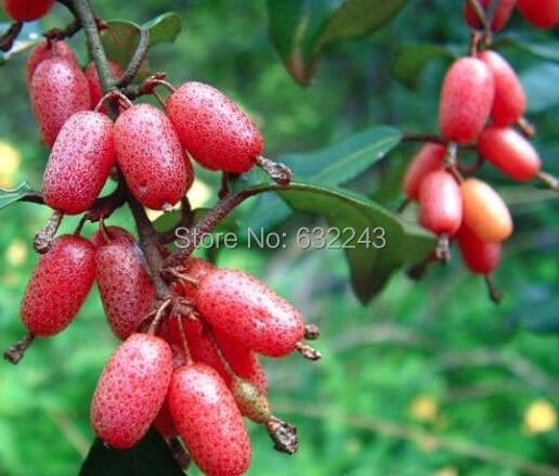New Arrival Home Garden Plant 40 Seeds Autumn Olive Japanese Silverberry Bush Shrub Elaeagnus