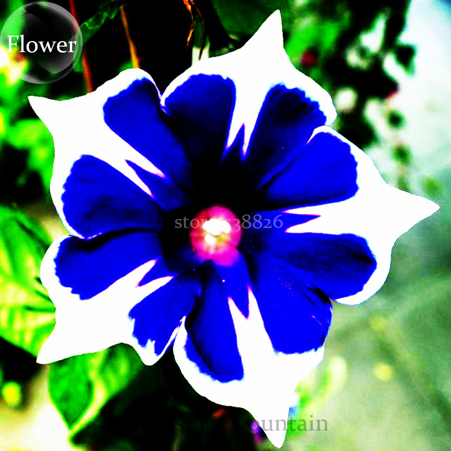 Bellfarm bonsai imported japan fan blue white morning glory hybrid bellfarm bonsai imported japan fan blue white morning glory hybrid very beautiful flowers high germination 30pcspack in bonsai from home garden on izmirmasajfo