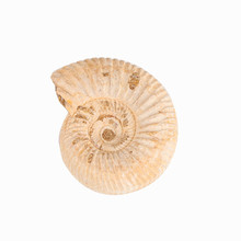 1pc Natural Fossil marine animal chrysanthemum petrified stone specimens student museum natural science teaching materials