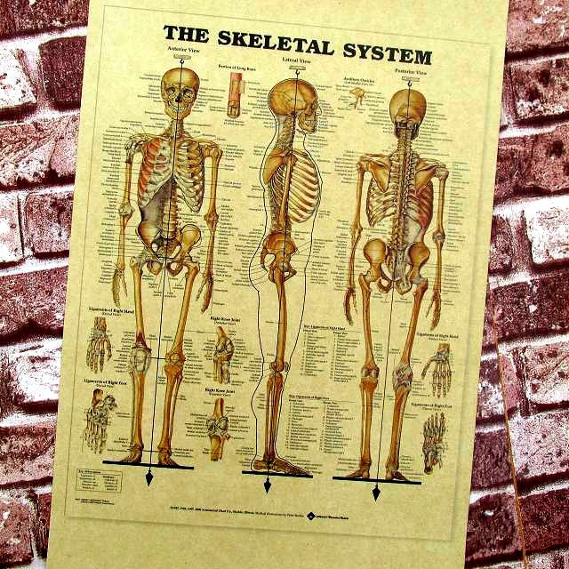 Human Skeleton Teachers Adornment Picture Medical Hangs Bar Poster Kraft Paper Posters Nostalgic Restoring Ancient Ways 42*30cm