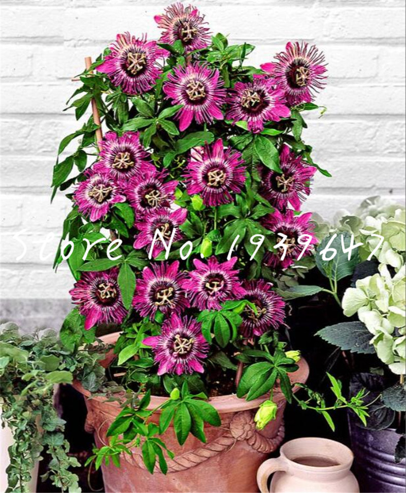 100 pcs Climbing Bonsai Passiflora Fruit Tree Passion flower Home Garden Plant De Frutas Raras Bonsai Plant tropical Decor Plant(China)