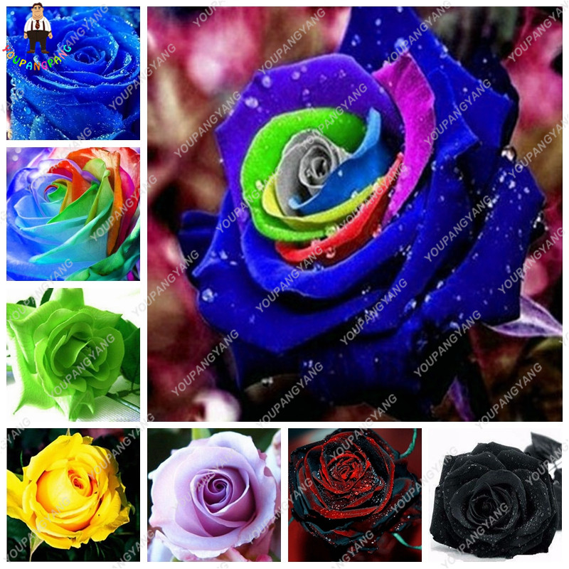 compare prices on exotic roses online shopping/buy low price, Beautiful flower