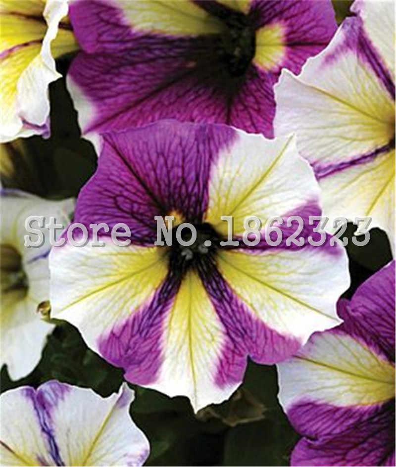 Bonsai 100 Pcs/Tas Petunia Bunga Campuran Petunia Hybrida Gantung Petunia Taman Petunia, Bonsai Tanaman untuk Taman Rumah