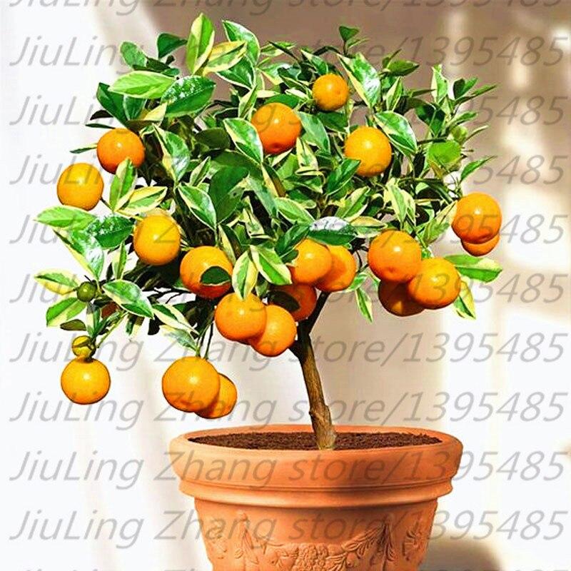 20pcs/bag, Balcony patio bonsai fruit trees planted seeds, kumquat seeds, orange seeds, tangerine