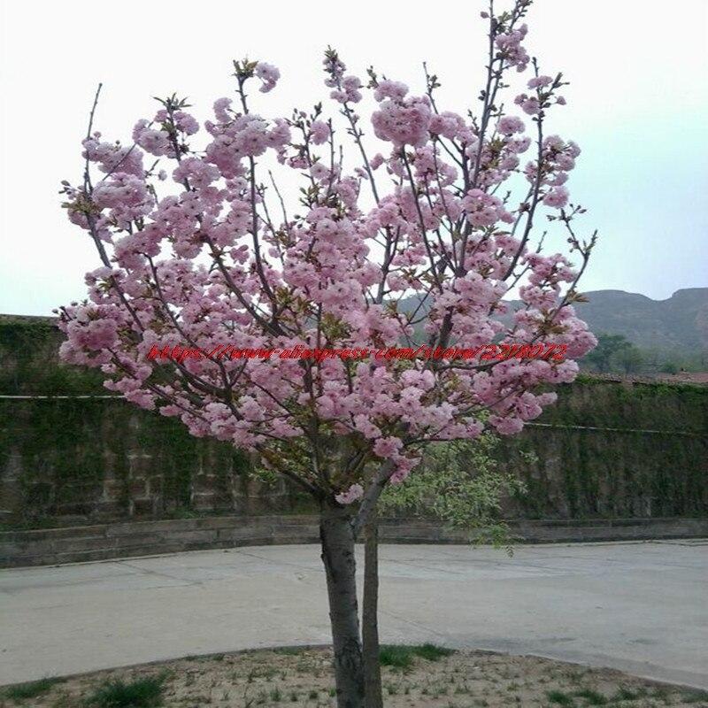 10 Pink Stuffed Weeping Cherry Tree Seeds DIY Home Garden Dwarf Multi Year Free Cargo In Bonsai From On Aliexpress