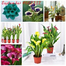 Big sale!100pcs Calla lily bonsai,perennial potted plant for home &garden decoration, easy to Free delivery,complete color