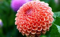 100pcs Dahlia seeds Pompon beautiful gardens gorgeous flower mix color bonsai plant asian seeds
