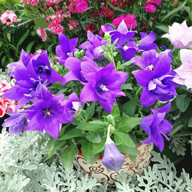 100 Pcs Sac Bleu Ballon Fleur Bonsai Platycodon Grandiflorus Bonsai