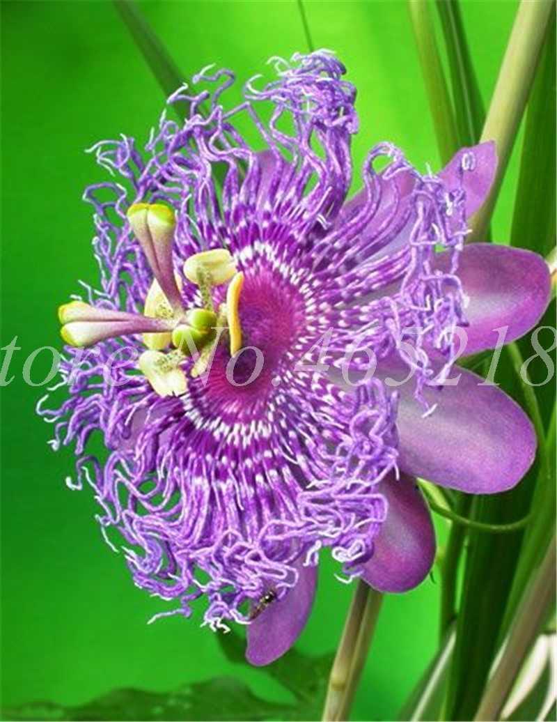 100 pcs Importado Paixão Flor Flores Videira Vaso de Frutas Ao Ar Livre Flor Plantas Bonsai DIY Jardim Home Decor fácil de Paixão crescer