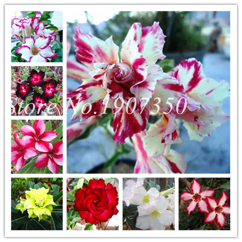 2 Pcs True Adenium Bonsai Exotic Mixed Desert Rose Bonsai Potted Flowers Balcony Desert-Rose Multi-Color Petals Succulent Tree