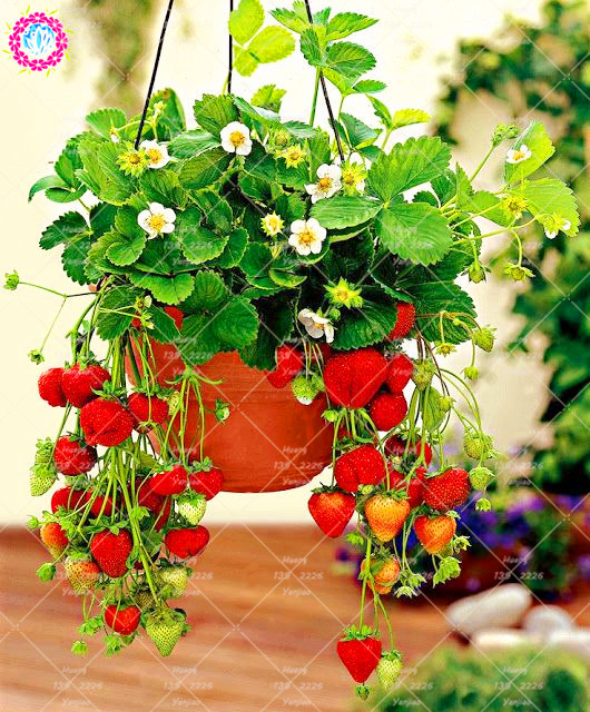 300 pcs Hanging strawberry seeds bonsai health organic fruit seeds sweet potted plant for home garden decoration