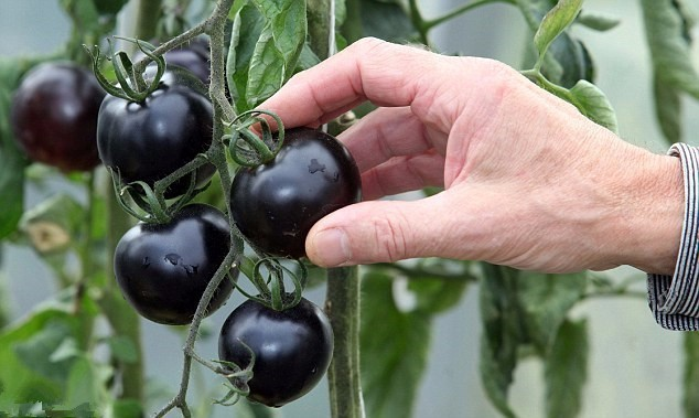 200pcs/bag Black Tomato Seeds
